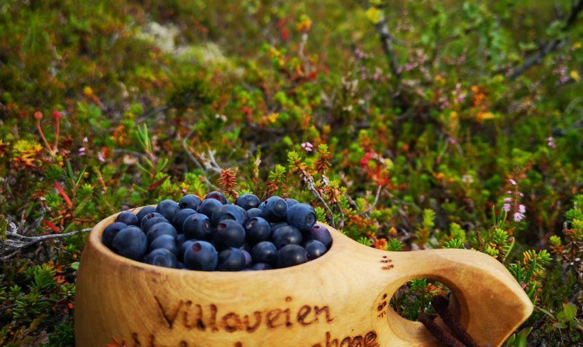 Beskyttet: Gruva plukker blåbær